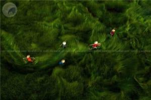 Giải nhì: Thu hoạch cói - Nguyen Sanh Quoc Huy